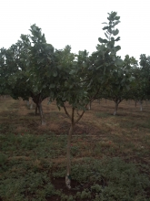 Pistachio orchard with young trees in Larissa, Prefecture of Thessalia, Greece